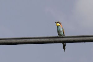 b&b-cas-al-cubo-bird-watching-holiday-bee-eater.jpg